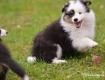 Bazinga 8,5 Wochen alt