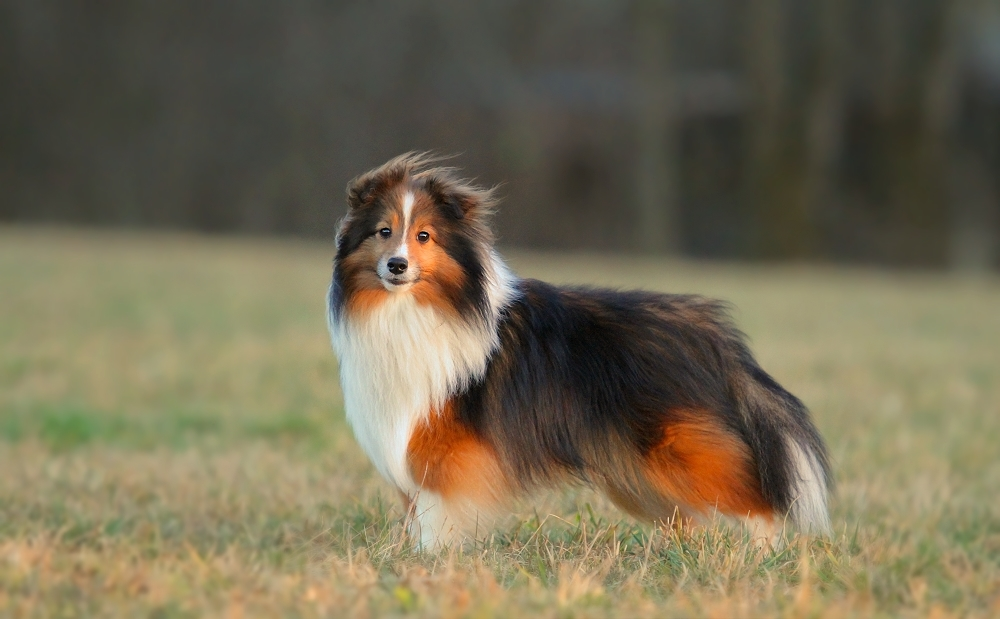 Sheltie Rüde Tiny