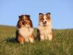 Junghunde Kazumi & Tiny