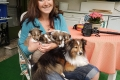 Tiny's Sheltie Welpen - Daddy & his Kids