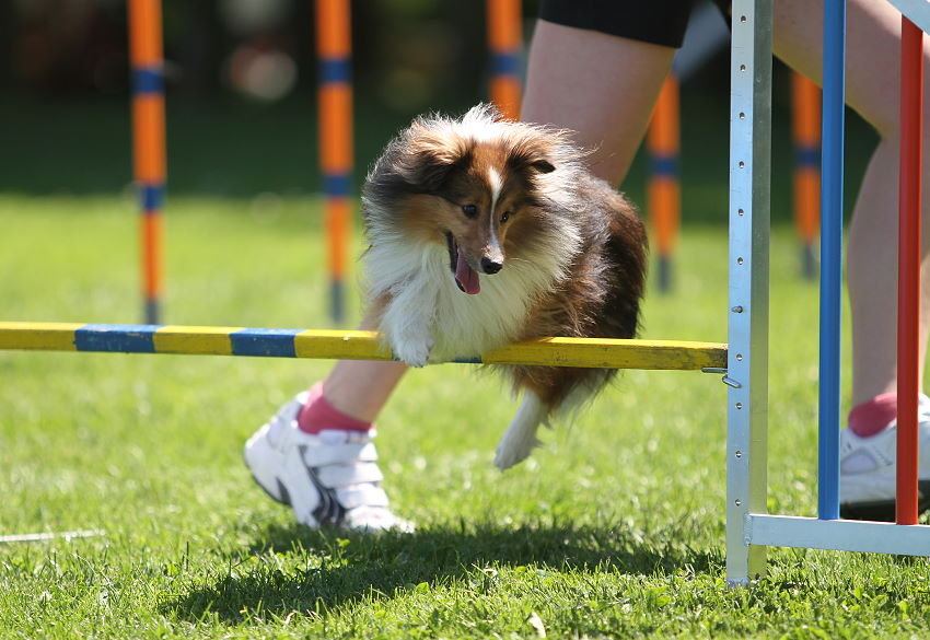 Sheltie Mr. Tiny Agility