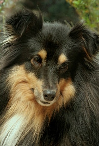 Sheltie Kings Fiery Skipper